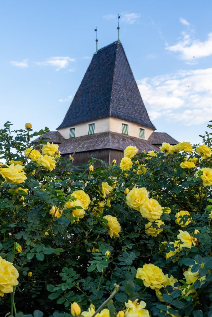the roof of the Uhrturm with yellow roses